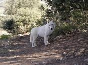 Modelado lobo-p68-11.11.02.jpg