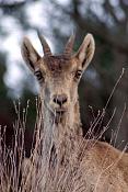 Fauna-cabra-montes.jpg