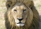 Leon-35058093.lionface.jpg