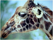 Fauna-girafa-de-cerca.jpg