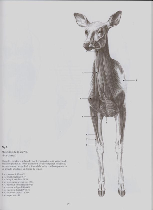 Moderno Ciervos Anatomía Fotos Adorno - Imágenes de Anatomía Humana ...