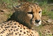 Fauna-guepardobaja.jpg
