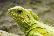 Fauna-iguanabaja.jpg