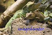 Fauna-iguanasbaja.jpg