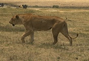 Busco referencias de un leon-408055_resize.jpg