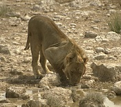 Busco referencias de un leon-408072_resize.jpg