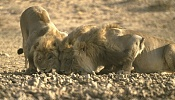 Busco referencias de un leon-408081_resize.jpg