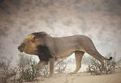 Busco referencias de un leon-panthera-leo.jpg