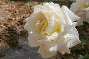 Una Rosa y un Jazmin -rosab3wl.jpg
