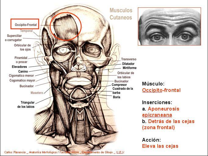Musculos faciales: forma y funcion