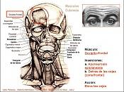 Musculos faciales: forma y funcion-anatomia.jpg