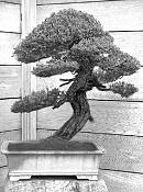 bonsai   more-bump.jpg