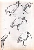 Dibujos rapidos , Bocetos  y apuntes  en papel -ibis.jpg