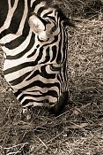 Fauna-cebra.jpg