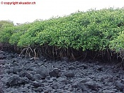 Manglar-lava-manglar.jpg