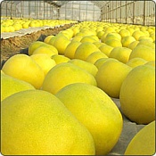 Votar Limones-limones.jpg