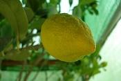 Votar Limones-lemon.jpg
