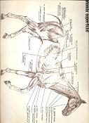 Imagenes de caballos-referencia_anatomia_caballo.jpg