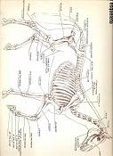 Imagenes de caballos-referencia_esqueleto_caballo.jpg