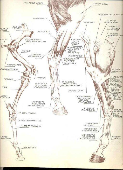 Famoso Anatomía Del Caballo Pata Trasera Galería - Anatomía de Las ...