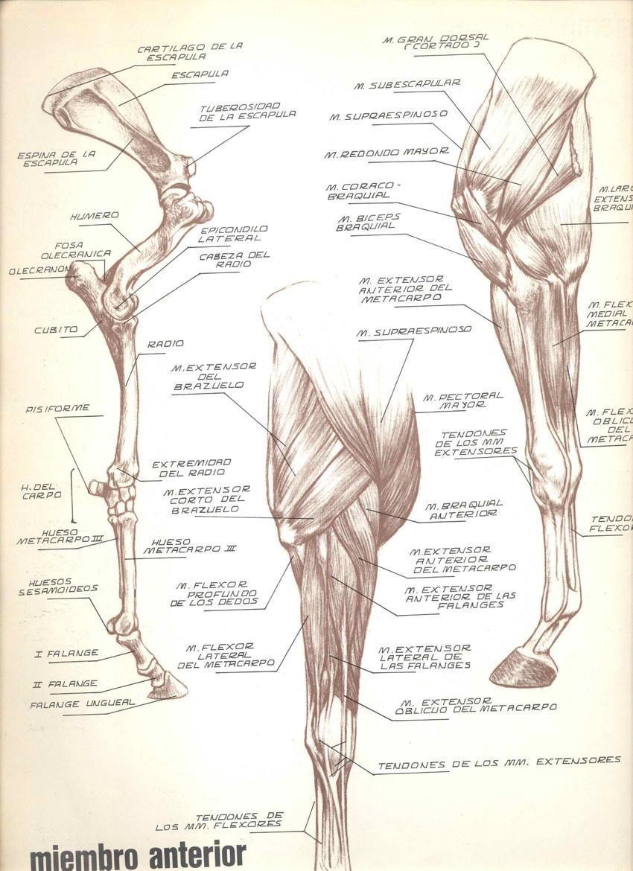 Excepcional Pata Anterior Anatomía Muscular Imagen - Anatomía de Las ...