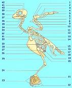se puede usar un bipedo para un gorrion -esqueleto_pajaro.jpg