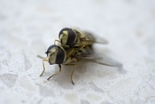 Un cortico-abeja.jpg