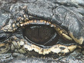 Cómo crear ojos y párpados-ojko-cocodrillo.jpg