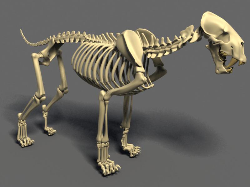 http://www.foro3d.com/attachments/93795d1233849182-gato-dientes-cimitara-anatomia-homotherium-esqueleto2.jpg